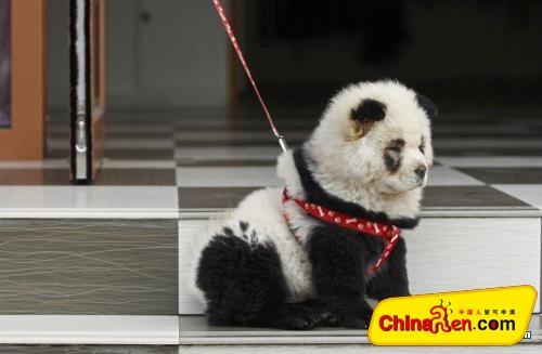 "is it a real panda? - a dog is tricked up to be a ""panda"""