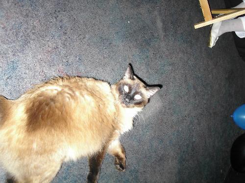 My big cat Loki - AKA, Jabba the cat.