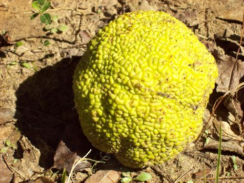 Horse apple - This fruit is very ugly and not something you want to eat. Some of the names it's referred to as are osage orange, horse apple, hedge apple, monkey brains and monkey balls. Apparently they are used to keep roaches and crickets out of the house.