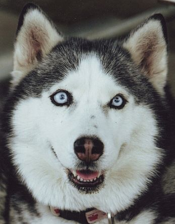 siberian husky - so cute!