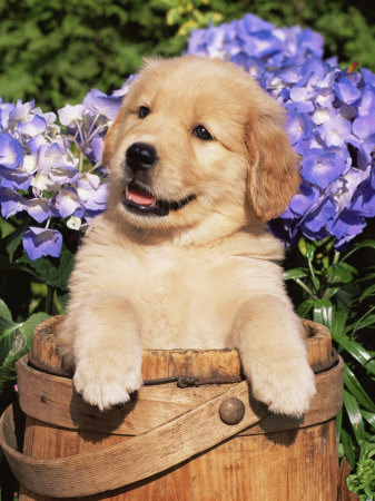 Golden Retriever Puppy - Look at this cute pupppy!!