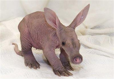 Newborn Aardvark - This recent photo, supplied by the Detroit Zoo, shows a newborn aardvark