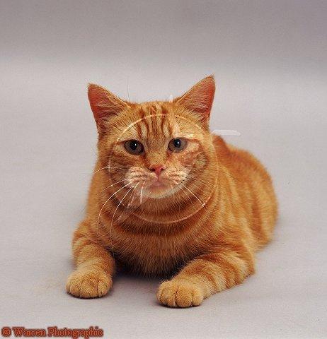cat - orange tabby cat