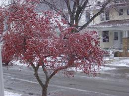Iced Berry Tree! - This tree is beautiful all covered with ice.