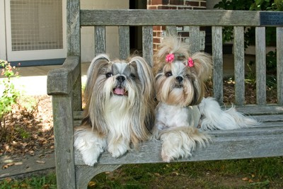 Shih Tzu - a male and a female shis tzus
