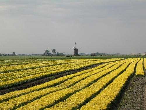 Dutch bulb field  - I stopped ond day for my lunch so i just took a photo nice ha?