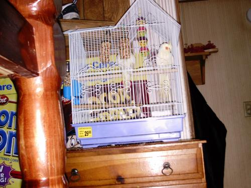 Max, my son's cockatiel - Which ended up just becoming part of the family. I tried to find a better pic, but this is the one my son wants to be shown. He thinks it's the best one. LOL