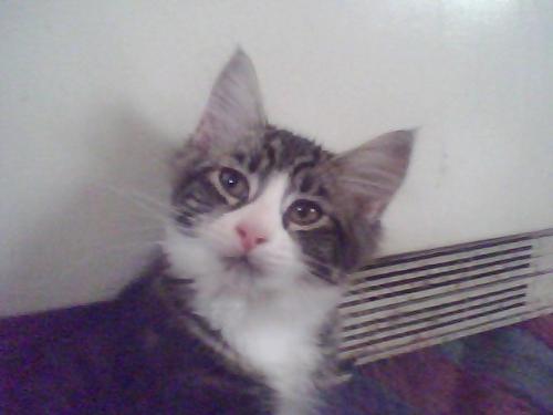 Kitten - Bruce the Kitten