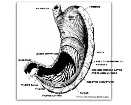 Stomach View - 545 x 438 - 50k - jpg - www.theholisticcare.com/cure%20diseases/Image..