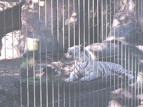 white tiger - white tiger awesome
