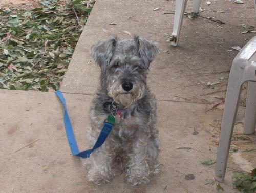 My dog - Picture of my minature schnauzer at 4 years old.