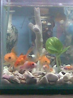 my pets - here are my goldfishes.. :)..just a few of them