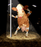 I Want My Award To Look Like This. LOL - My favorite dancing cow. ROFL