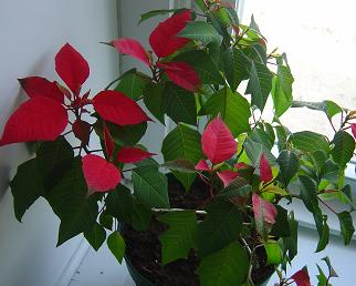 A very confused Poinsettia! - This poor Poinsettia wasn't properly cared for during the year and remained green during the holidays. Now it thinks it's close to Christmas, I guess.