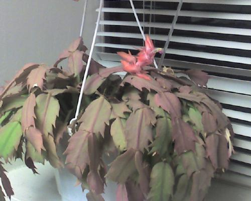 Christmas Cactus - Blooming in March