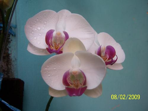 moon orchid 2 - this is my other moon orchid