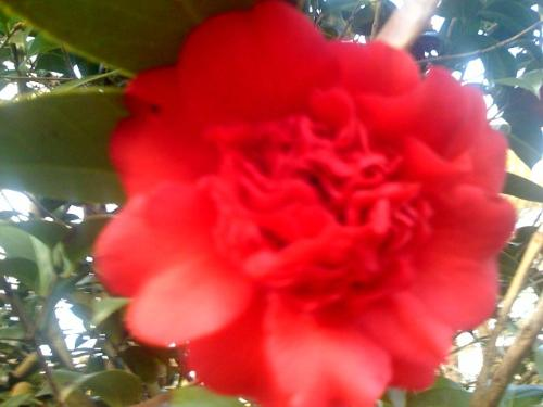 Camelia - This is a shot of the camelia's I had at our old house. This one is a red ruffle.