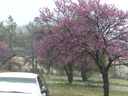 A picture of my Redbud tree in the snow - This is a picture of my Redbud tree with the snow falling down on it, I hope the trees don't get ruined they are all budding right now.
