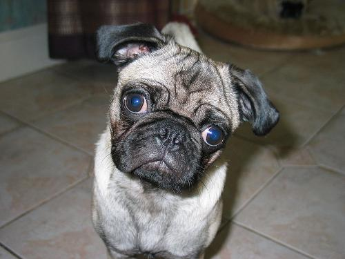 A Pug - This is a pug