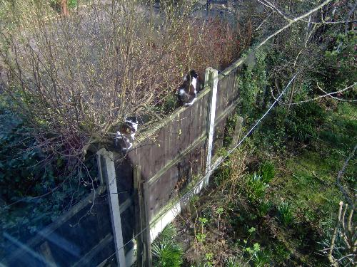Fence Sitters - This is Felix, (in front) and Poppy enjoying a commanding view of the territory from the top of the fence.