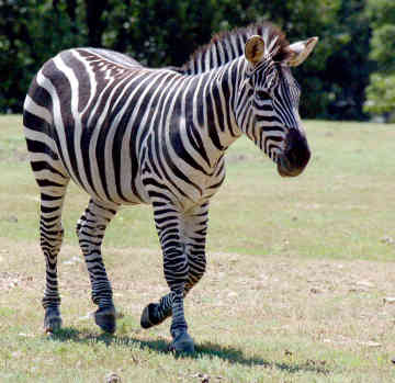 What do you think about Zebra ? - Zebra's are white with black strips or black with white strips