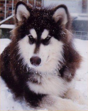 an alaskan malamute - Beautiful dog