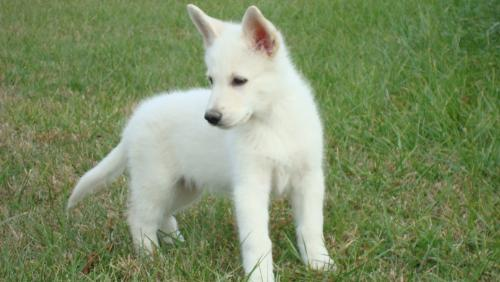 Vincent - Here is a picture of my dear little Vincent, well when he was little. He is a white GERMAN SHEPHERD and we love him all to pieces.
