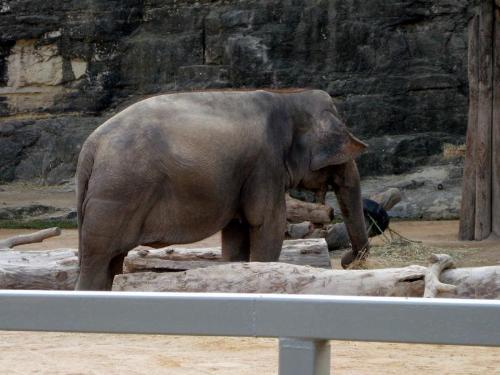 Elephant - Elephant at San Antonio Zoo