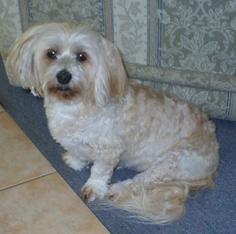 My Beautiful Penny - Penny is a Llasa Apso x Maltese, and is 12 years old.
