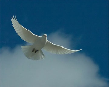 """White Dove - Dove is always referred as a symbol of peace.....while Jesus was baptized there was a phrase in the bible which said """"....and a dove came and rested on him"""".....many religious meetings these days start the meetings with the release of a dove as a symbol and instrument of peace......"""