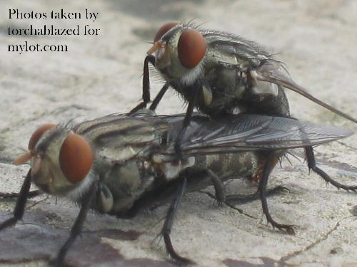 flies on their reproduction process - reproducing kids :)