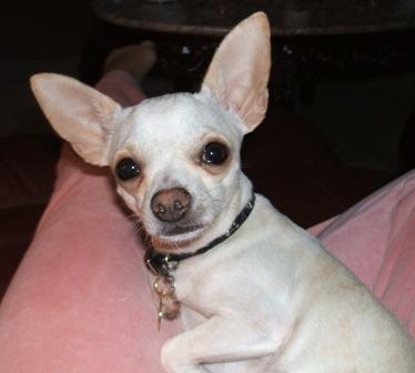 Tink - My chihuahua, Tink.