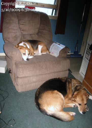 Buster (chair) Sam (floor) - Buster and Sam relaxing after a long day of running around.