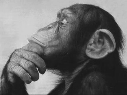 Monkey - An image of a chimp thinking.