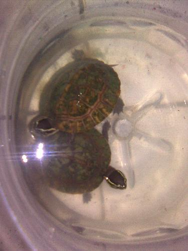 turtles - my brother's pet