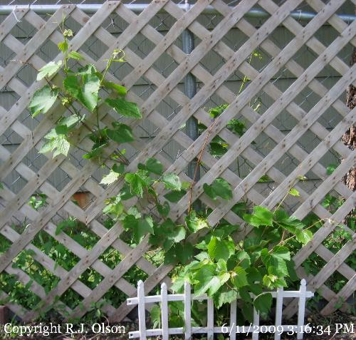 Kay Gray Grapevine - This has tripled in size since last year.