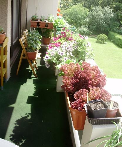 Balcony on 26 June.. - This picture shows part of my balcony with my large variety of salad crops and the one box of flowers which are petunias. My tomatoes are now producing several ripe fruits per day and the cucumbers and peppers are looking good.