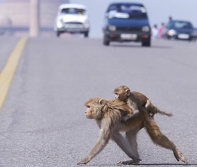 Monkey in a Mess - On coming traffic with Monkey and baby