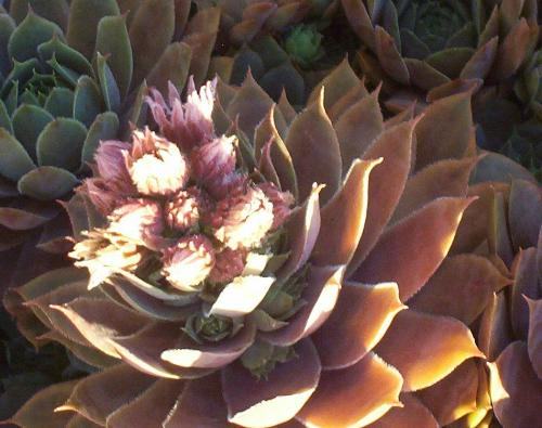 Hen and Chicks in Bloom - Here's the Hen with blooms all over the top of it.