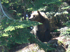 Grizzly bear from local mountain - Photo is actually a thumbnail of a video I had shot on my Flip Video camcorder.