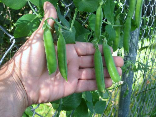 Peas - Using them this weekend. From my garden in Minnesota.