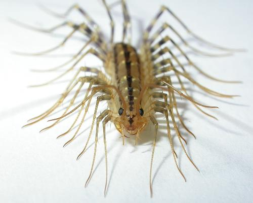 image of a centipede - photo of a centipede like the ones I find