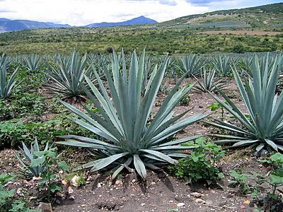Blue Agave, for making tequila - This is the plant used in the making of tequila. The leaves are shaved off and the heart cooked for 36 hours in clay ovens (or six to eight hours in microwaves) before the juices are extracted, fermented, and then distilled (twice for tequila)