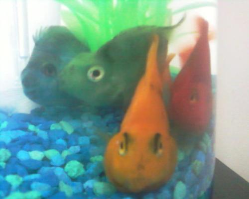 My Fish - These are my Fish. I Love how they look and they so cool looking.. There is Red, Yellow, Blue, and green fish. Some people think they look fake but they are in fact real. haha.. but yeah I want to get the rest of the colors or the rest of the rainbow look haha.. All I'm missing is Orange, Pink and purple .. So yeah..