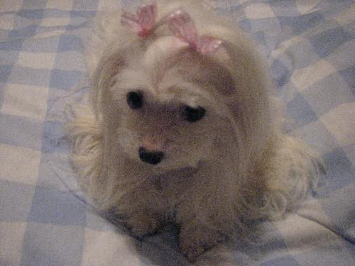 Four Pound Maltese - This is Four Pounds Of Pure Love