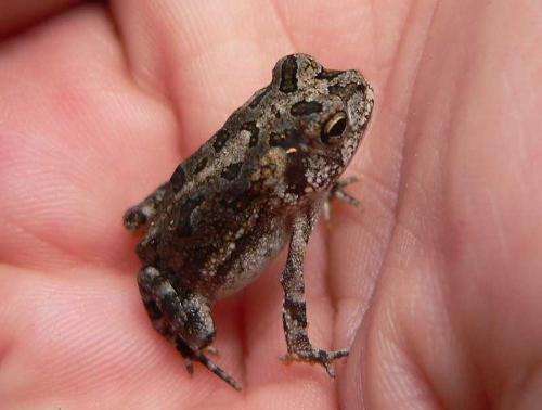 oak tree toad - oak tree toad-less than one inch