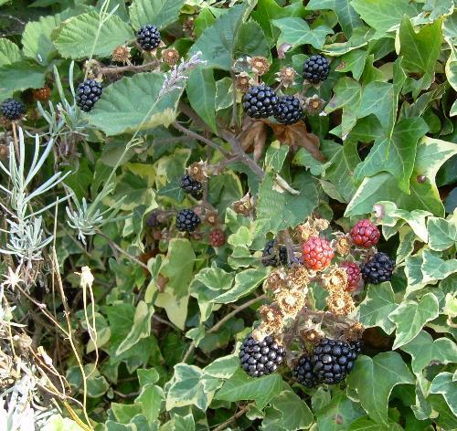 Blackberries - Blackberries - very popular with blackbirds