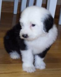 tags  old english sheepdog