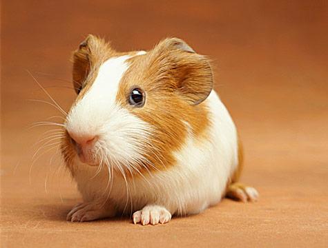Human Guinea Pig... - Human Guinea Pig...