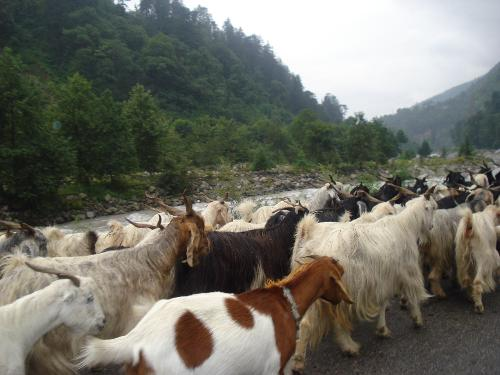 Where are they going? - See the flock of goats walking and guess where are these going? shoppping, vacation or what?come up with your views with hints in the image.........